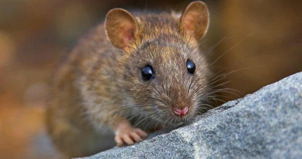 Những con số may mắn nên chọn khi nằm mơ thấy chuột