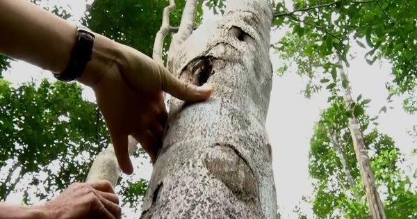 Đã có 'cách mạng' trồng rừng gỗ lớn