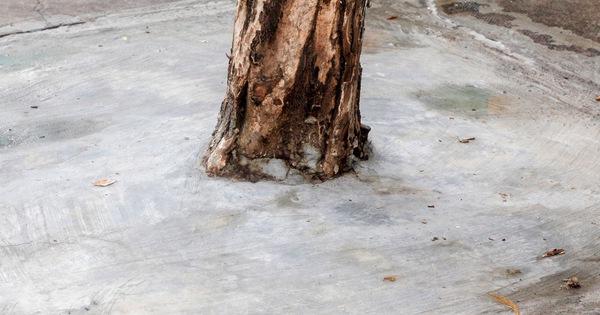 """Nhiều cây xanh ven đường đang bị """"bóp cổ"""" bằng xi măng"""