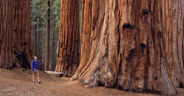 Thế giới mất hơn 30% cây cổ thụ