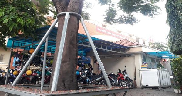 Cây phượng mục mang chân kiềng ở Trường THCS Lê Văn Tám