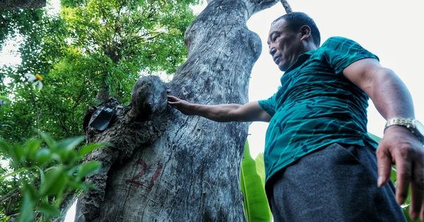 Hơn 100 cây xanh dự án đường sắt Nhổn – ga Hà Nội bị bỏ mặc, nhiều cây chết khô, mục ruỗng