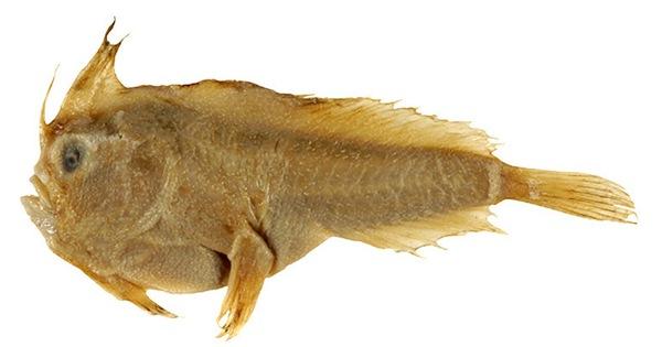 Loài cá biển đầu tiên tuyệt chủng trong thời hiện đại