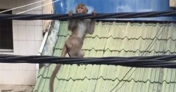 Khỉ đuôi dài 'làm xiếc' trên dây điện ở quận Bình Thạnh,...