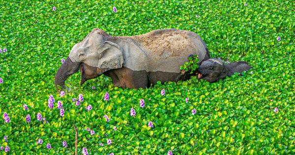 Ảnh động vật vui nhộn: Sư tử ''tám'' chuyện, mẹ con voi cười tít mắt giữa đầm hoa