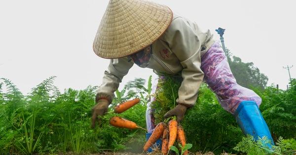 Dân Cẩm Giàng phấn khởi vì cà rốt ''được mùa, giá tốt'' bất chấp dịch COVID-19