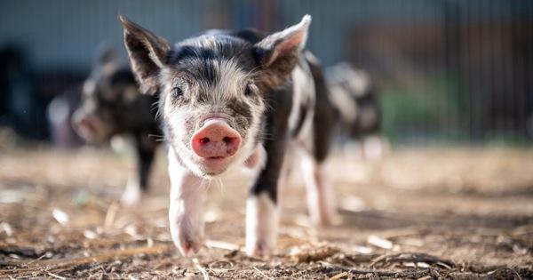 Động vật có vú có thể hấp thụ oxy qua hậu môn