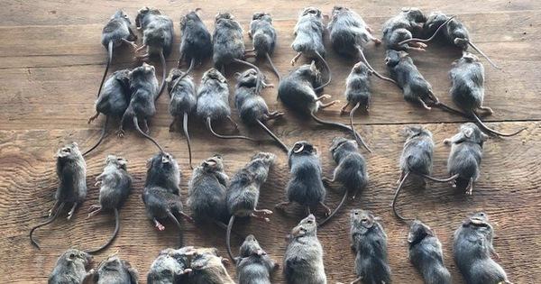Đại dịch chuột' lan khắp Australia có thể kéo dài 2 năm - Tuổi Trẻ Online