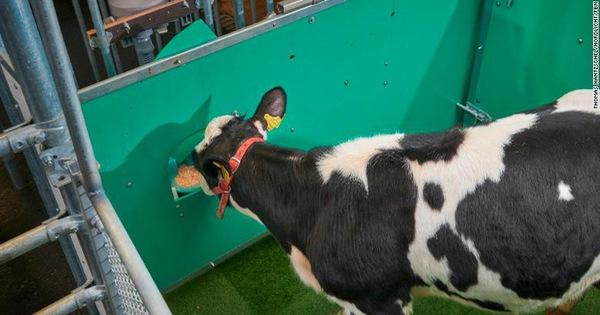 Đức huấn luyện bò 'giải quyết nỗi buồn' đúng chỗ để bảo vệ môi trường